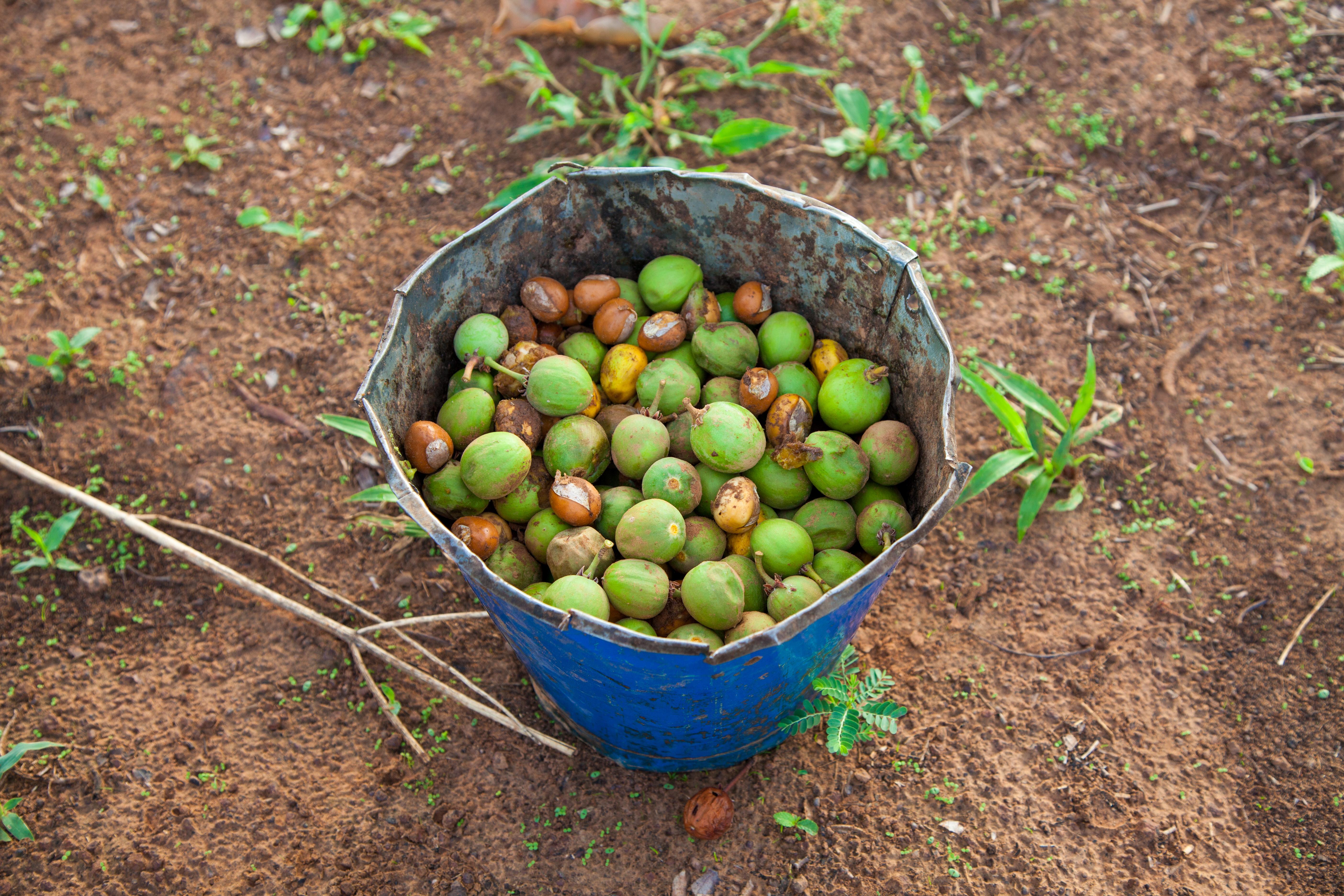 Owoce Masłosza